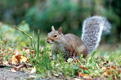 Gray Squirrel Photographie stock