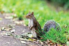 Gray Squirrel Imagen de archivo libre de regalías