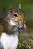 Gray Squirrel stock photo