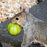 Gray Squirrel Royalty Free Stock Photo