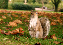 Gray squirrel. A gray squirrel sitting in the grass Royalty Free Stock Photos