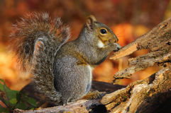 Free Gray Squirrel Royalty Free Stock Photography - 81246777