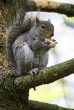 Gray Squirrel. Squirrel sitting on a tree and eating a peanut Royalty Free Stock Photography