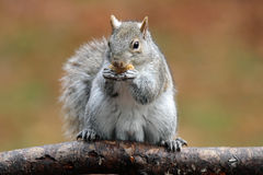 Gray Squirrel in Autumn. A cute eastern gray squirrel (Sciurus carolinensis) in Fall sitting on a branch holding a nut in its paws Royalty Free Stock Photo