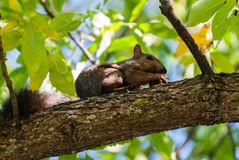 Gray squirrel on branch holding nut with claws Royalty Free Stock Photography