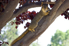 Gray squirrel is on a branch. The gray squirrel lying down on a branch and looking at the camera Royalty Free Stock Images