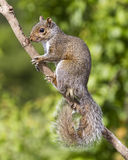 Gray Squirrel on branch. Vertical shot of a grey gray squirrel on a natural branch against a natural green background.  The squirrel is looking at the camera and Stock Image