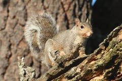 Gray Squirrel (carolinensis de Sciurus) Photo libre de droits