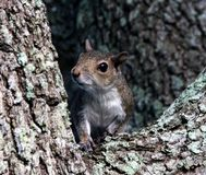 Gray Squirrel (carolinensis do Sciurus) Fotos de Stock Royalty Free
