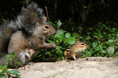 Gray Squirrel And Chipmunk Royalty Free Stock Photos