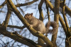 Gray squirrel climbing on branches of a tree in Winter royalty free stock image