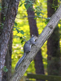 Gray squirrel climbing tree Royalty Free Stock Photography