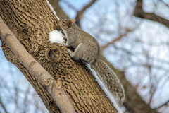 Gray squirrel climbing a tree on the snow Royalty Free Stock Photos