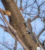 Gray squirrel climbing a tree on the snow Stock Images