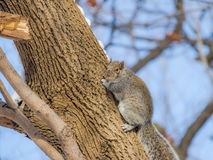 Gray squirrel climbing a tree on the snow Stock Photo