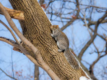 Gray squirrel climbing a tree on the snow Royalty Free Stock Photo