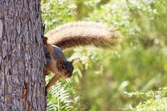 Gray Squirrel Climbing Tree Stock Image