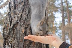 The gray squirrel clings to a pine trunk in the winter park and eats nuts from a hand in Russia South Ural. The gray squirrel clings to a pine trunk in the Stock Image