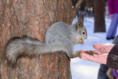 The gray squirrel clings to a pine trunk in the winter park and eats nuts from a hand in Russia South Ural. The gray squirrel clings to a pine trunk in the Royalty Free Stock Photos