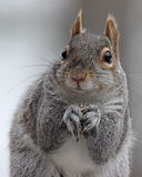 Gray Squirrel Close Up Stock Photos