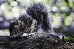 Gray squirrel collecting nuts on a large branch royalty free stock photo