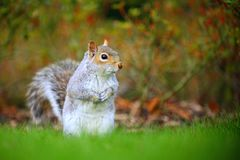 Gray squirrel is curious Royalty Free Stock Photography