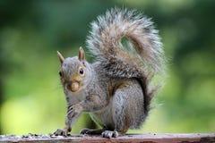 Gray Squirrel stock photo