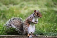 Gray Squirrel del este Fotos de archivo libres de regalías