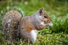 Gray Squirrel del este Imagen de archivo libre de regalías