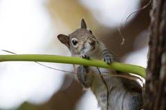 Gray Squirrel del este curioso Foto de archivo libre de regalías