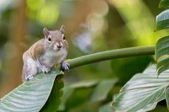 Gray Squirrel del este en una hoja tropical Fotos de archivo libres de regalías