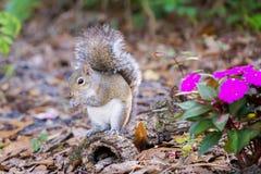 Gray Squirrel del este tiene un bocado Imagenes de archivo