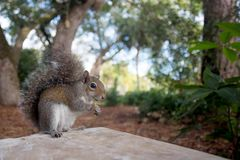 Gray Squirrel del este tiene un bocado Fotos de archivo
