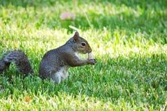 Gray Squirrel, der an der Erdnuss schnüffelt Lizenzfreie Stockfotografie
