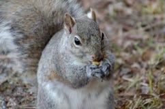 Gray Squirrel, der eine Nuss isst lizenzfreie stockbilder