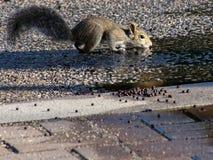 Gray Squirrel Drinking orientale giovanile dalla pozza Fotografia Stock
