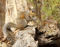 Gray Squirrel Royalty Free Stock Photos