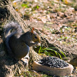 Gray Squirrel Eating Stock Photos