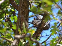 Gray Squirrel eating acorn in Oak Tree Royalty Free Stock Images