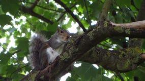 Gray Squirrel Eating in Boom royalty-vrije stock fotografie