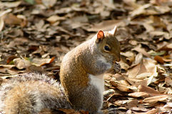 Gray Squirrel Eating Royalty Free Stock Photos