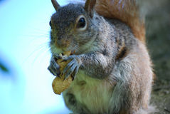 Gray Squirrel Eating een Pinda royalty-vrije stock foto