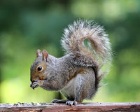 Gray Squirrel Eating From Its Tatzen Stockfotografie