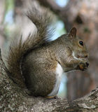 Gray Squirrel Eating Nut. Gray squirrel sitting in the crook of a tree, eating a nut...side view royalty free stock photography