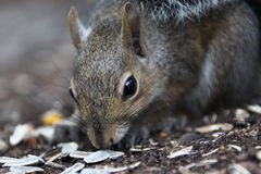 Gray squirrel. Eating a nut Royalty Free Stock Photos
