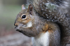 Gray squirrel. Eating a nut Stock Image