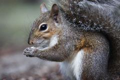 Gray squirrel. Eating a nut Royalty Free Stock Images