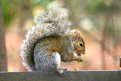 Gray squirrel eating nut. In the woods stock images