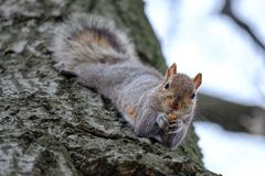Gray squirrel eating nut on a tree trunk. Gray squirrel eating nut while hanging on a tree trunk Royalty Free Stock Photos
