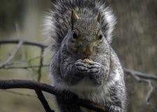 Gray Squirrel Eating Seeds op Boomlidmaat stock fotografie